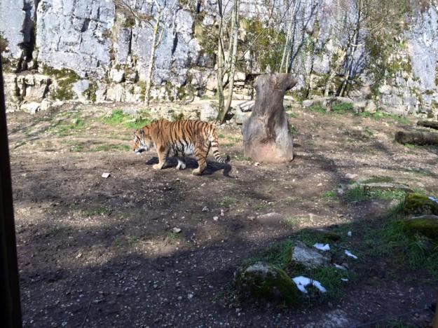 Le tigre siberien