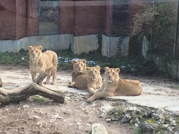 Les lions asiens